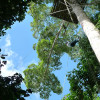 Wspinaczka na amazońskie drzewo